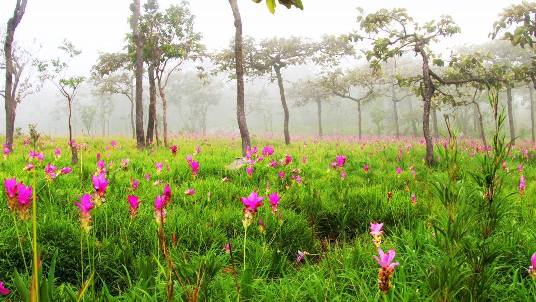 Curcuma Pflanzen in der Natur