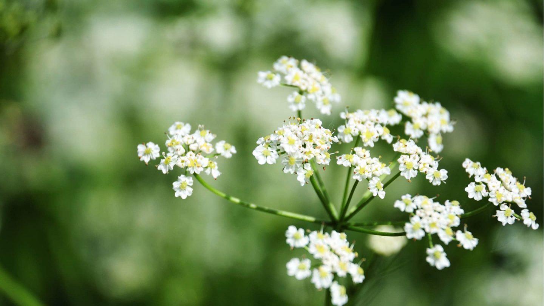 blühende Kreuzkümmel Pflanze