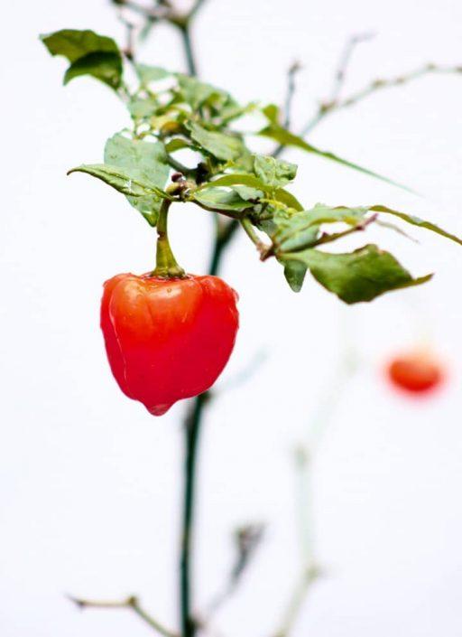 Paprikapflanze mit Frucht