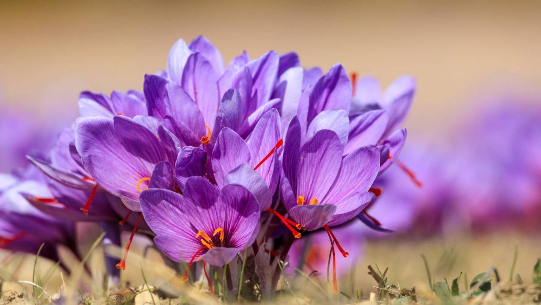 Safranblüten in der Natur
